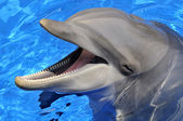 Head of  bottlenose dolphin — Stock Photo