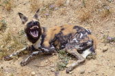 African Wild Dog showing its teeth — Stock Photo