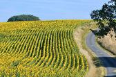 Sunflower field — Стоковое фото