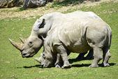 Two white rhinoceros in grass — Stockfoto