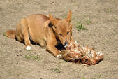 Dingo eating fowl — Stock Photo