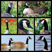 Mosaic photos of Canada geese — Stock Photo