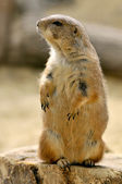Black-tailed Prairie Dog standing on trunk — Stock Photo
