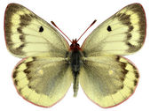 Isolated female Mountain Clouded Yellow butterfly — Stock Photo