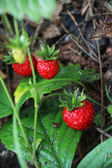 Strawberries on a branch — Stock Photo