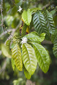 Coffe leaves — Stock Photo