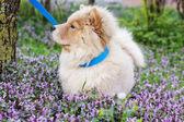 Chow-chow dog — Stock Photo