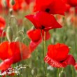 Nice field of red poppy flowers — Stock Photo #46401271