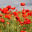 Nice field of red poppy flowers — Stock Photo #46401463