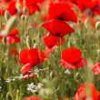 Nice field of red poppy flowers — Stock Photo #46402251