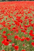 Beau champ de fleurs de pavot rouges — Photo