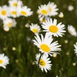 Big field of daisy flowers — Stock Photo #46556201