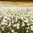 Big field of daisy flowers — Stock Photo #46556241