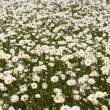 Big field of daisy flowers — Stock Photo #46556263