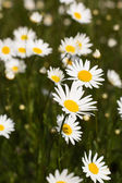 Big field of daisy flowers — Stock Photo