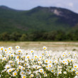 Big field of daisy flowers — Stock Photo #47139313