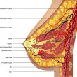 Anatomy of the breast. Vector - Image vectorielle