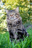 Сat Maine Coon in the grass in the summer — Stock Photo