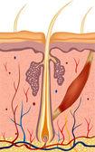 иллюстрация анатомии структуры человеческого волоса. вектор — Cтоковый вектор