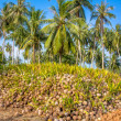 Coconut Sprout Ready To Germinate — Stock Photo #38285707