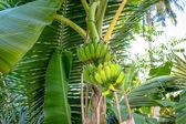 Racimo de bananos en árbol — Foto de Stock