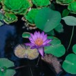 Beautiful water lily — Stock Photo #38319051