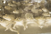 Frogs sold in fresh market Thai — Foto Stock