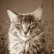 Stock Photo: Cat Maine Coon