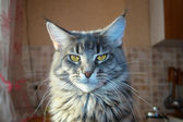 Blue cat Maine Coon — Stock Photo