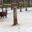 Stock Photo: Wild boar in winter forest