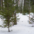 Snow-covered young spruce — ストック写真