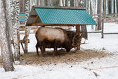 Deer Feeding in Winter — Stock Photo