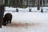 Jabalí en bosque de invierno — Foto de Stock
