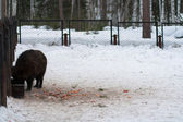 Wild boar in winter forest — Stock Photo