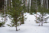 Snow-covered young spruce — Stock Photo