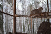 Lynx in the snow background in cage — Stockfoto