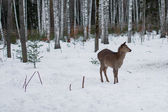 Roe deer in the winter in forest — Stock Photo