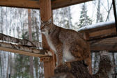 Lynx seating on a tree in cage — Stockfoto
