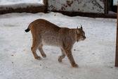 рысь стоя в снегу — Стоковое фото