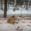 Stock Photo: Wolf lying in snow
