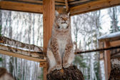 Lynx seating on a tree in cage — Stock Photo