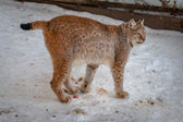 Lynx standing in the snow — Stock Photo