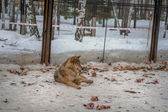 Wolf lying in the snow — Stock Photo