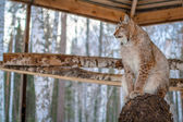 Lynx seating on a tree in cage — ストック写真
