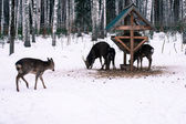 Roe deers feeding in the forest — Stock Photo