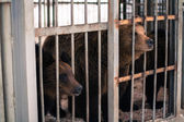 Live bears behind grids of a cage — Stock Photo