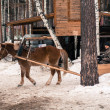 Horse in harness, winter — Stock Photo #38658019