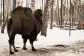Bactrian camel in the winter — Foto Stock
