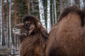 Bactrian camel in forest — Stockfoto