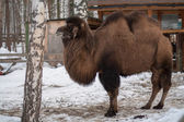 Bactrian camel in the winter — Stockfoto